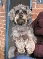 Breed for Allergy Sufferers page SCHNOODLE-H200