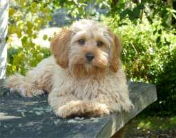 Adult Cavoodle dog-H200