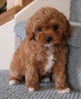 Cavoodle Fluffy Puppies
