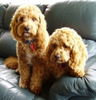 cavoodles-duke-and-duchess-H200