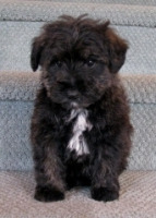 pam-schnoodle-male-240-H200