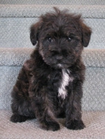 Schnoodle - Fluffy Puppies