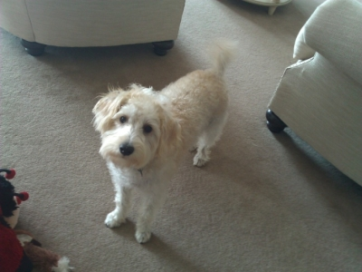 Riley (Schnoodle)