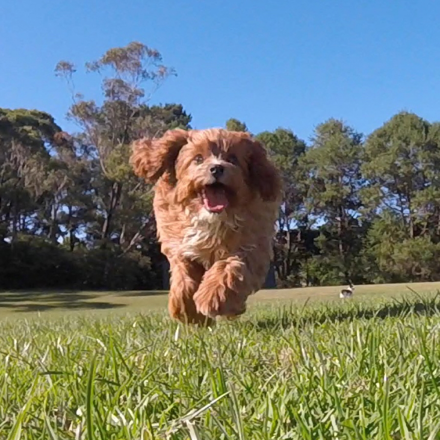 Second Generation Cavoodles for sale NSW - Fluffy Puppies