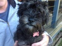 Abbey Schnoodle