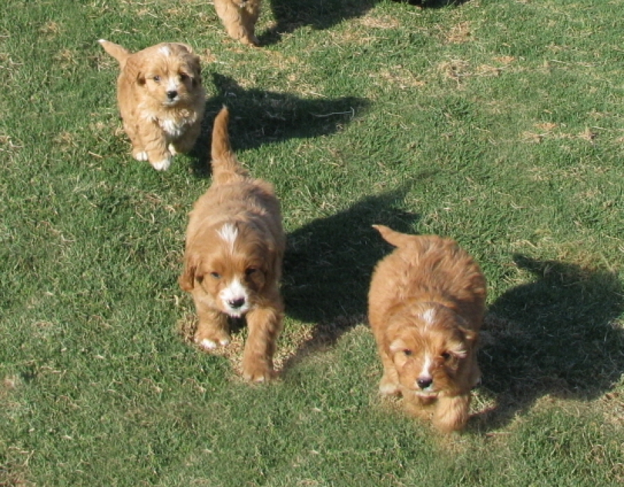 First Generation Cavoodle Puppies for Sale NSW - Fluffy Puppies