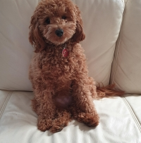 Ruby Cavoodle