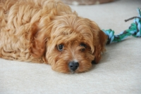 Toffee the Cavoodle