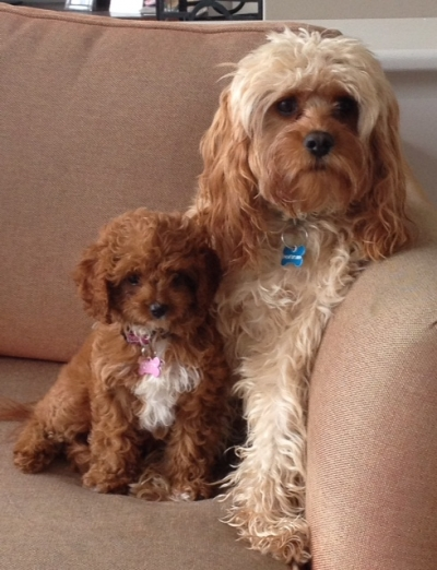 poppy cavoodle   fluffy puppies