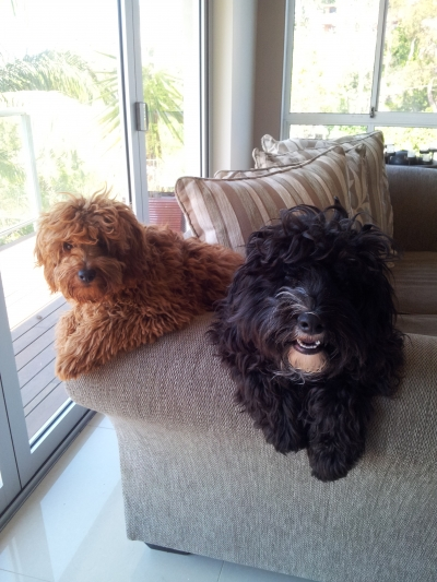 Harvey and Max Cavoodles