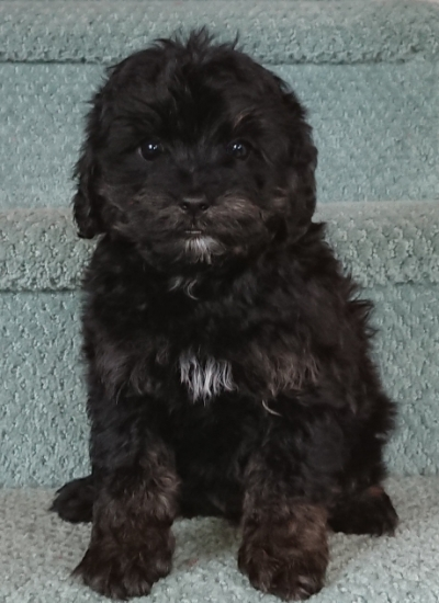 male Cavoodle puppies for sale