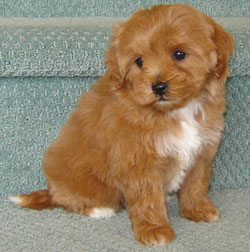 Poodle Puppies on The Parents Of A Moodle Are A Toy Poodle And Maltese