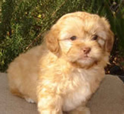 Shi Poo - Shoodle (Shih-tzu x Toy Poodle) | FluffyPuppies