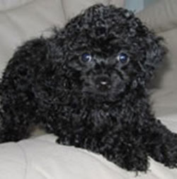 Poodle Puppies on Big Fox   Small Dog   Dangerous Or Not    Page 2   Pprune Forums
