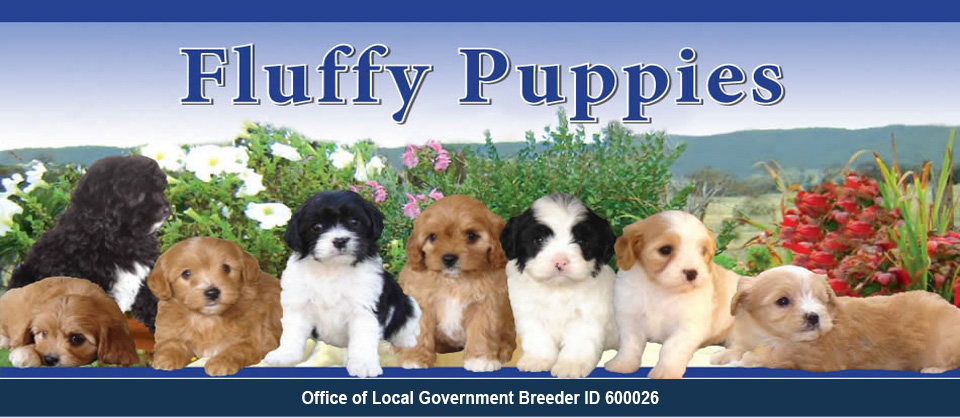 Fluffy Puppies for sale, cavoodle, moodle, shoodle